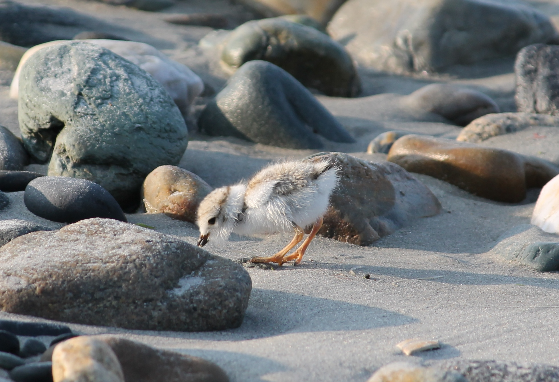 Piping Plover chick foraging on beach