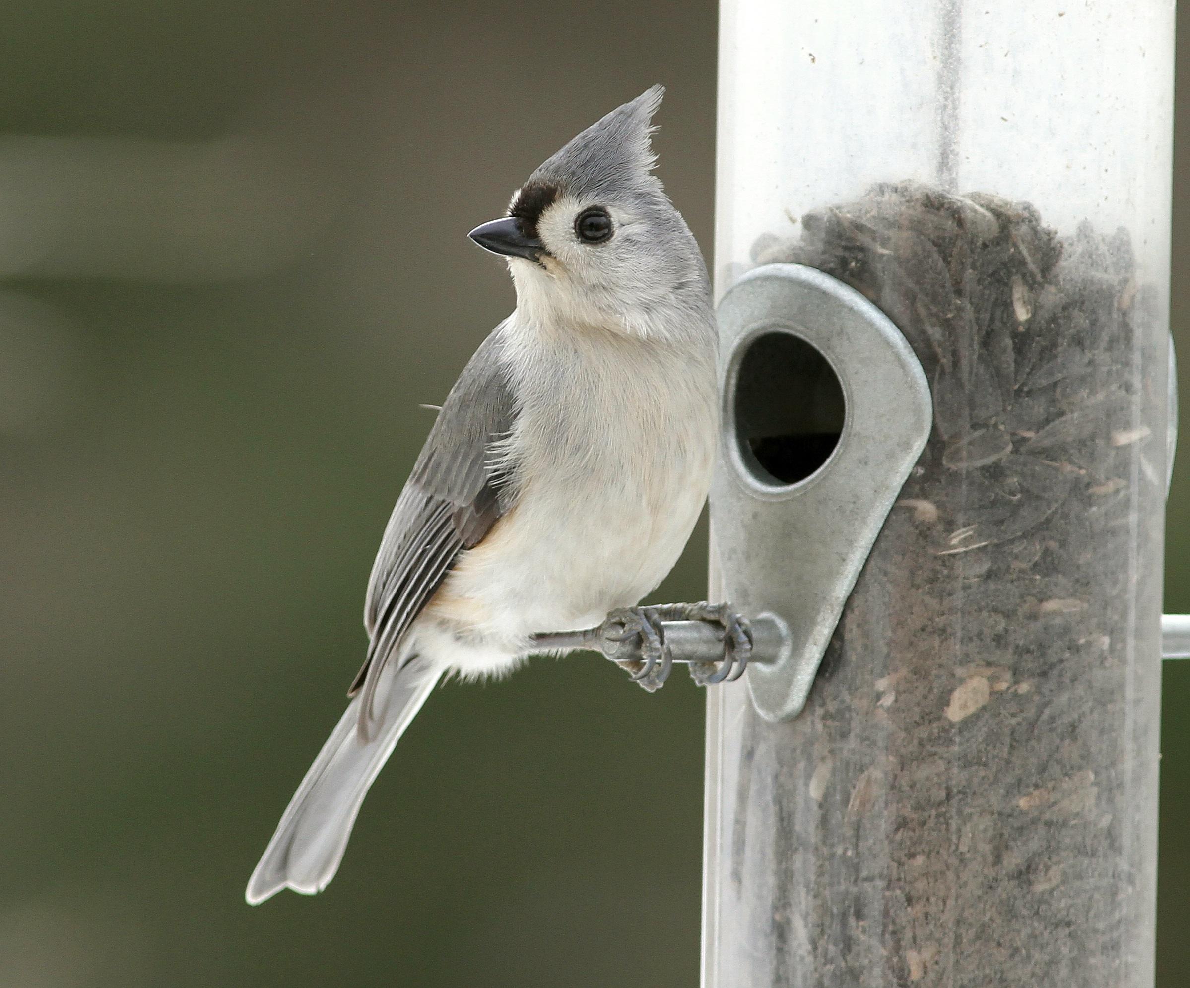 Titmouse at bird feeder