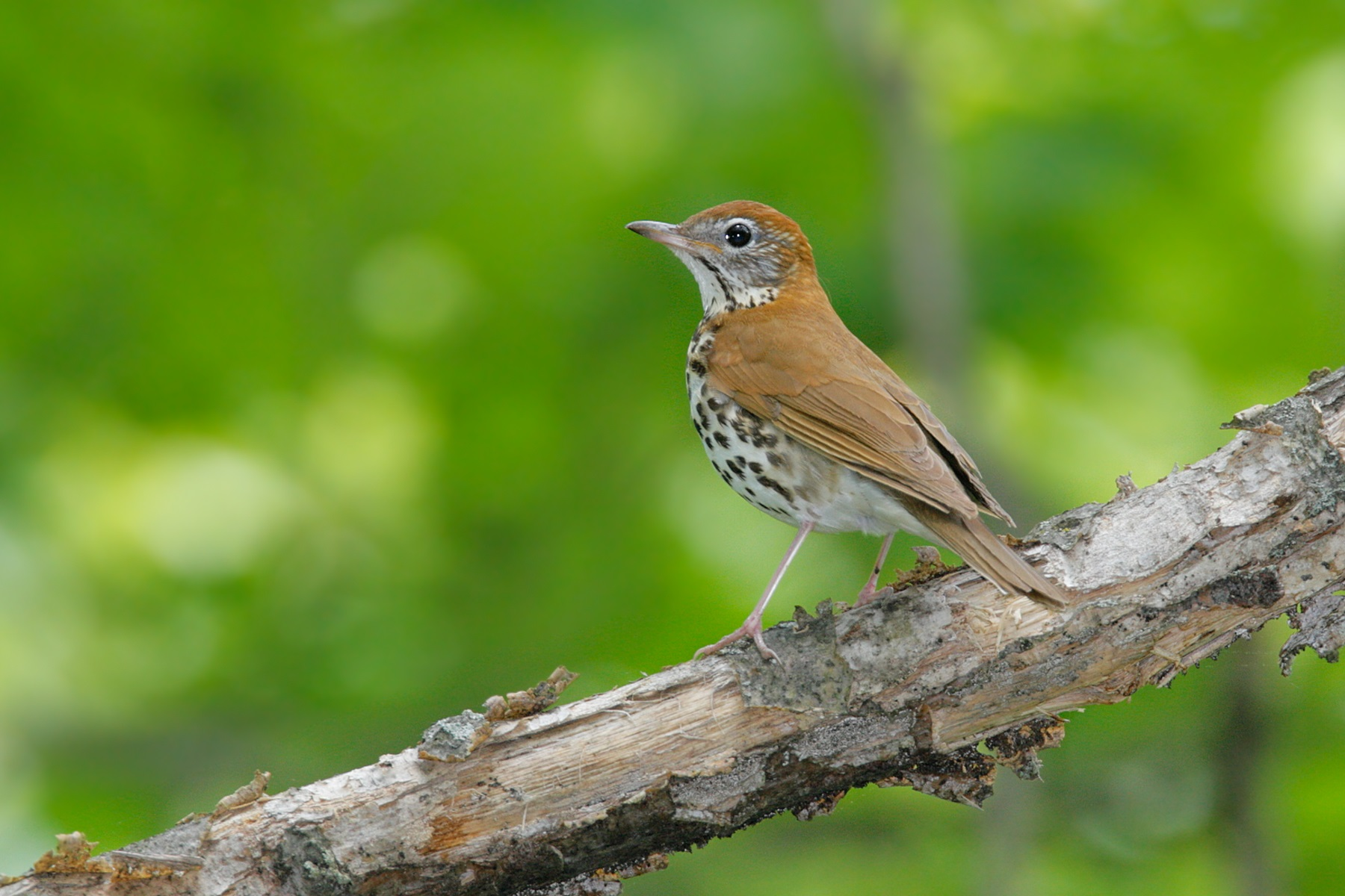 Wood Thrush on tree branch