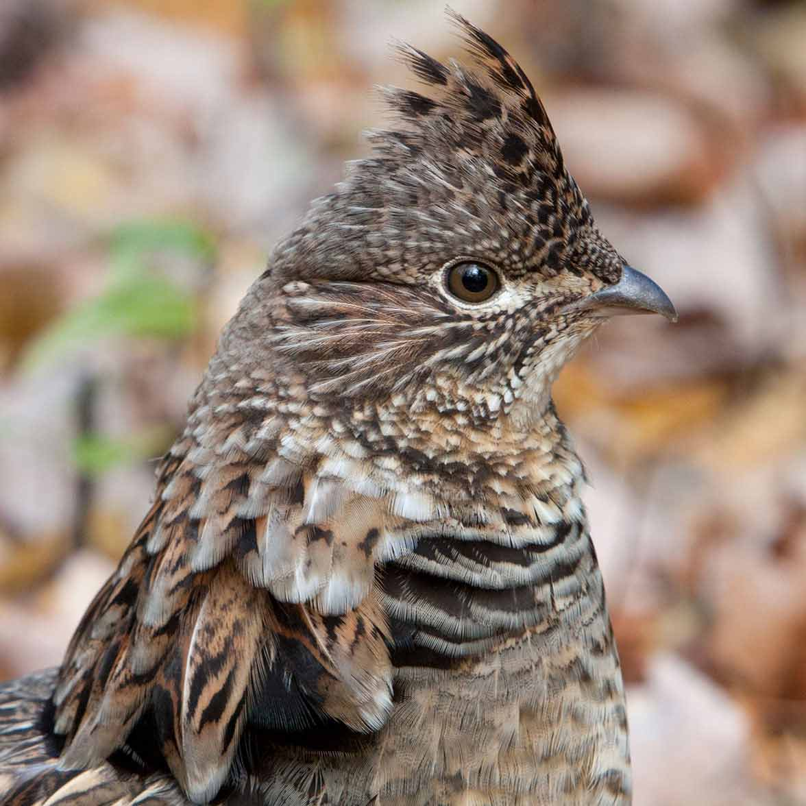 Ruffed Grouse. Photo: Francine Ouellette/Audubon Photography Awards