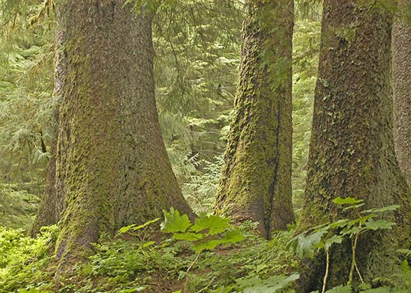 The lower trunks of three large old-growth trees.