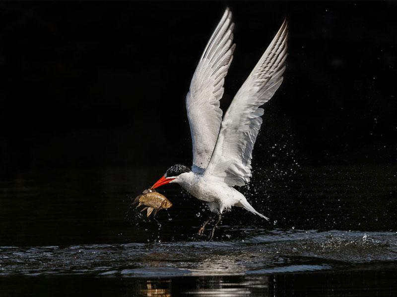 Caspian Tern with fish in beak.