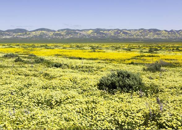 Wildflowers bloom on the Carrizo Plain National Monument. Photo: David Tyra