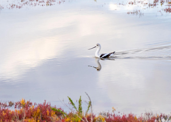 An American Avocet swims on the glassy surface of the Great Salt Lake