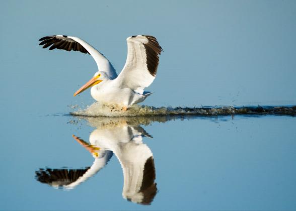 American White Pelican. Photo: Georgia Wilson/GBBC