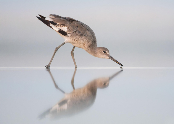 A Willet forages in shallow water, creating a mirror image in the reflection.
