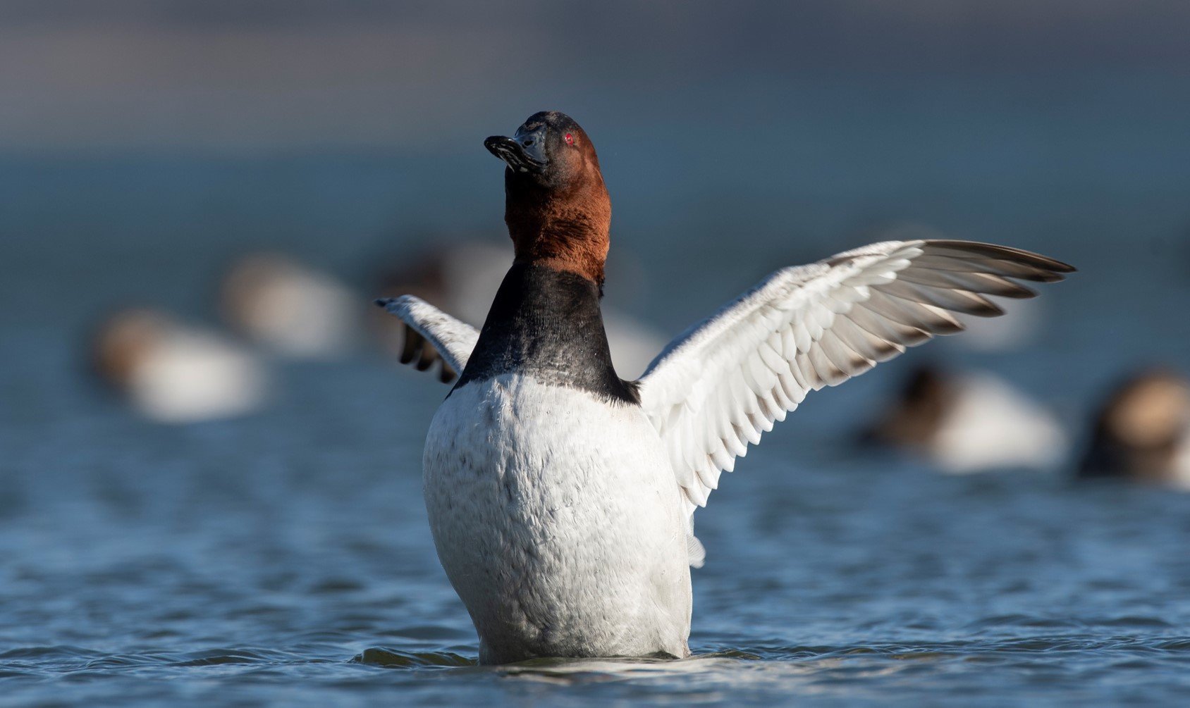 A Canvasback stretches its wings on a large body of water with other Canvasbacks bobbing in the background.