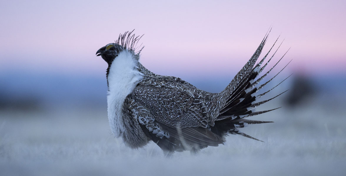 Greater Sage-Grouse. Photo: Evan Barrientos/Audubon Rockies