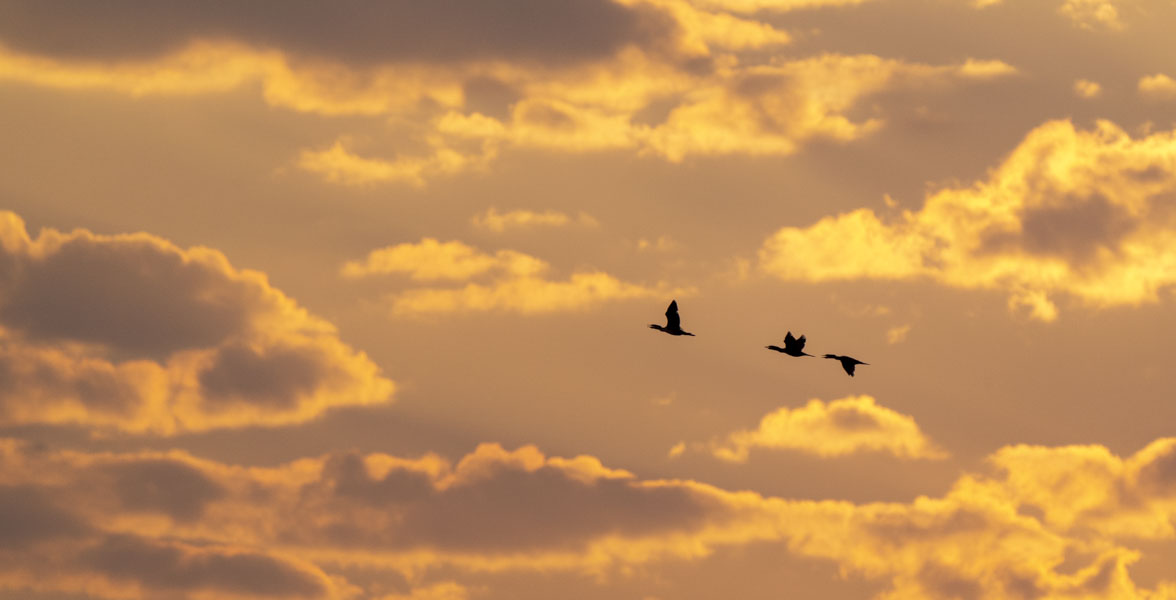 Three Double-crested Cormorants fly with a sunlit background.