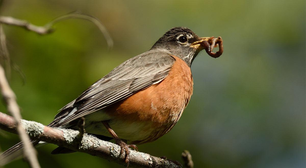 American Robin holding worm in beak.