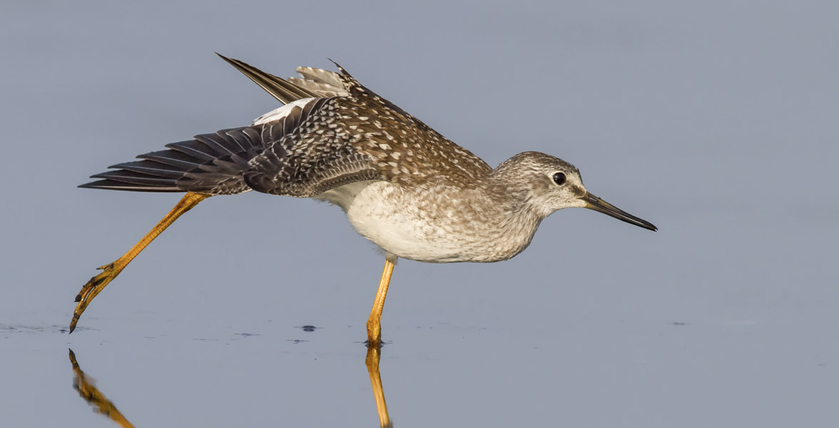 A Lesser Yellowlegs stretches in a wetland.