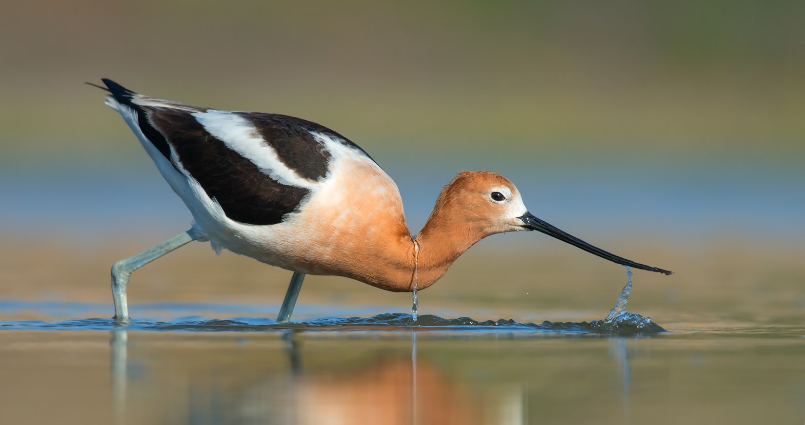 An American Avocet wades in some shallow water, dipping its head down.