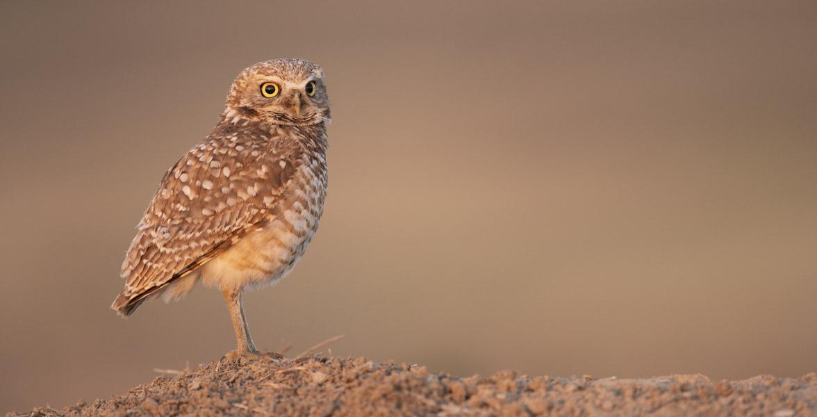 Burrowing Owl. Photo: Evan Barrientos/Audubon Rockies