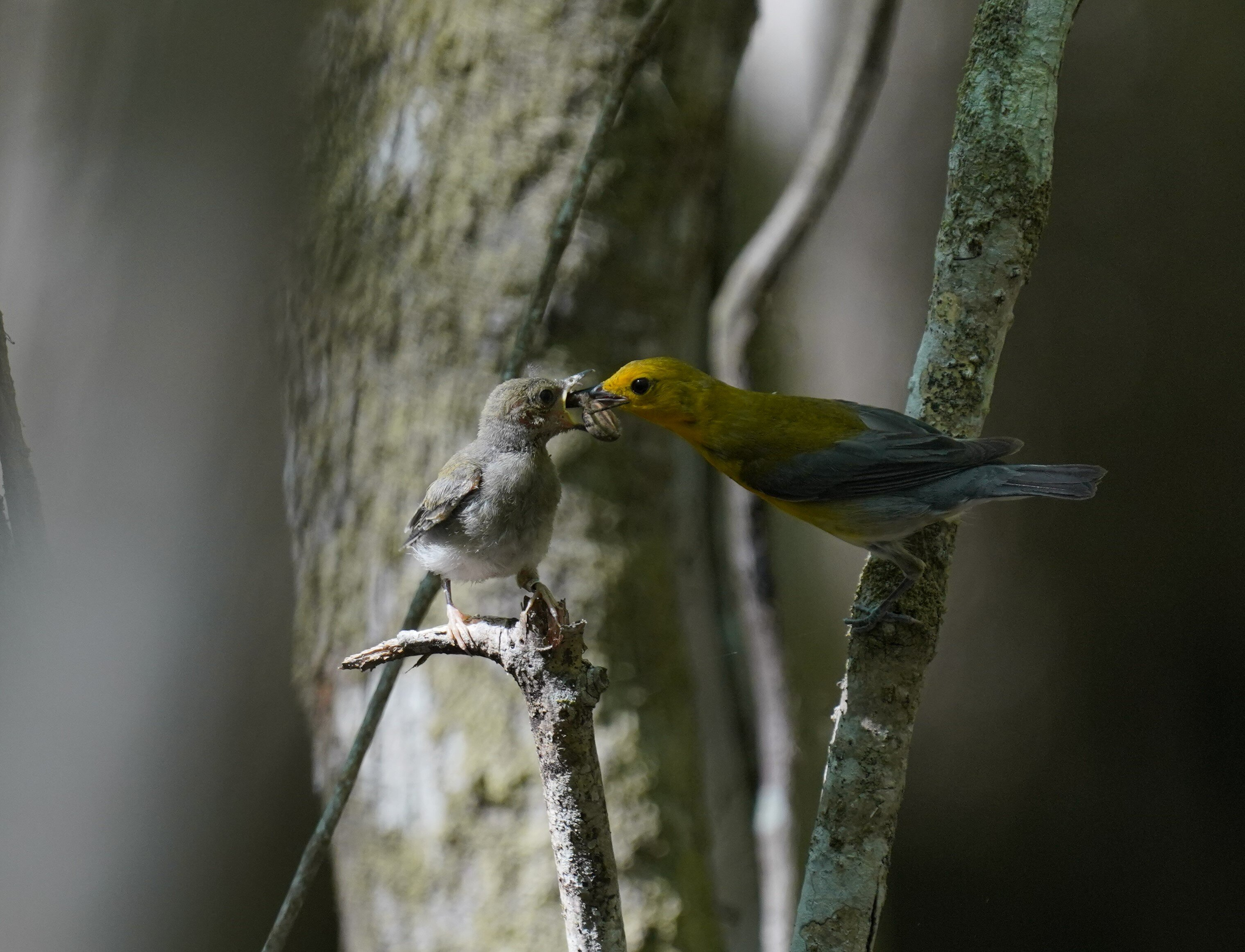 Prothonotary Warbler, yellow and blue plumage, feeds young fledgling from a snag in a gray backdrop swamp