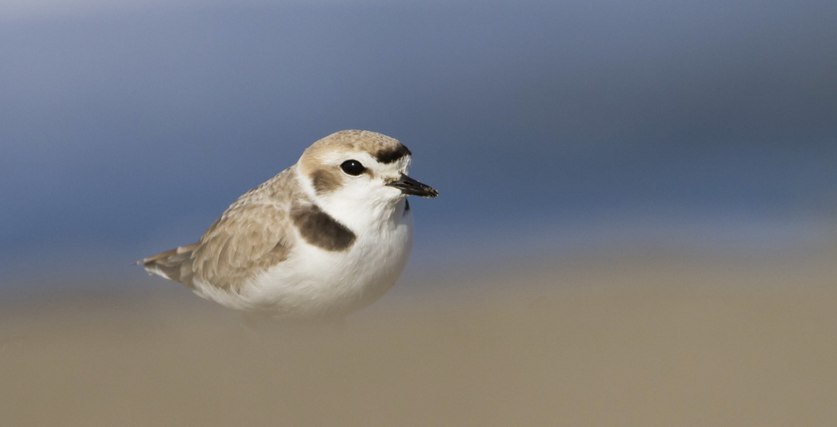 A Snowy Plover in front of a blue background and behind a brown foreground.