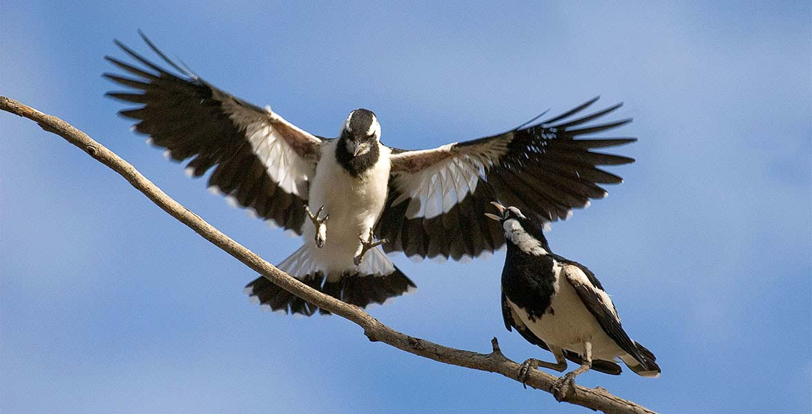 Magpie-larks.