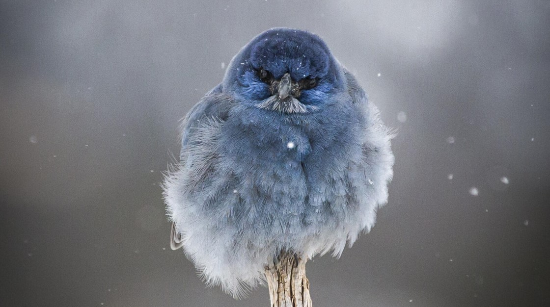 A Pinyon Jay perches on an upright stick during a snow flurry, puffed up and looking straight at the camera.