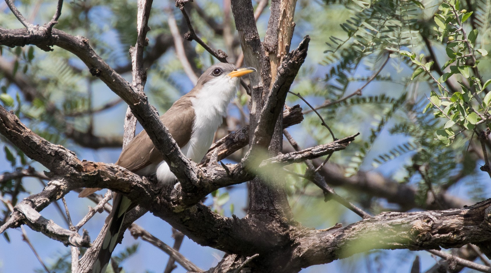 A Yellow-billed Cuckoo perches on a branch of a mesquite tree, looking wistful.