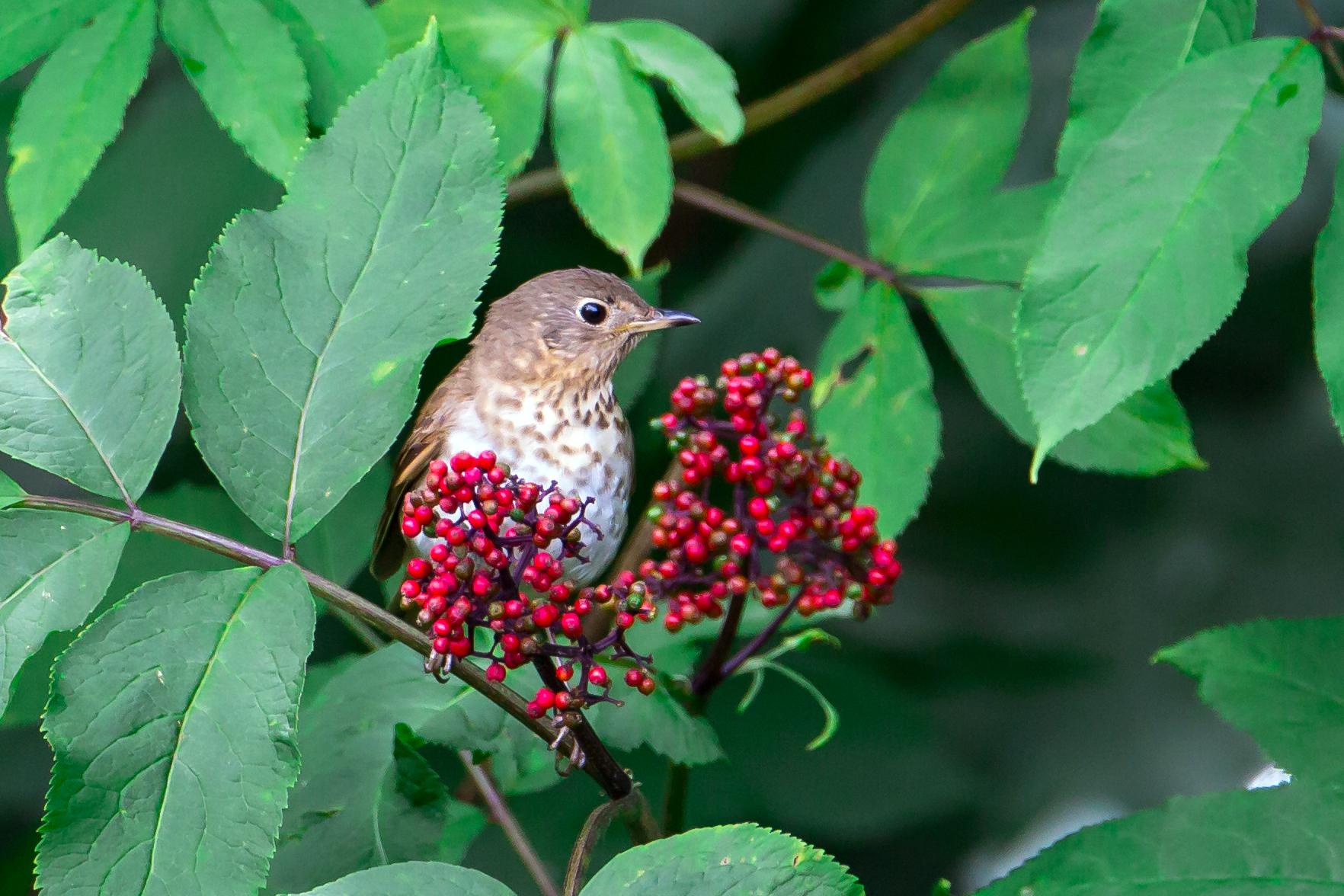 Swainson's Thrush in red elderberry