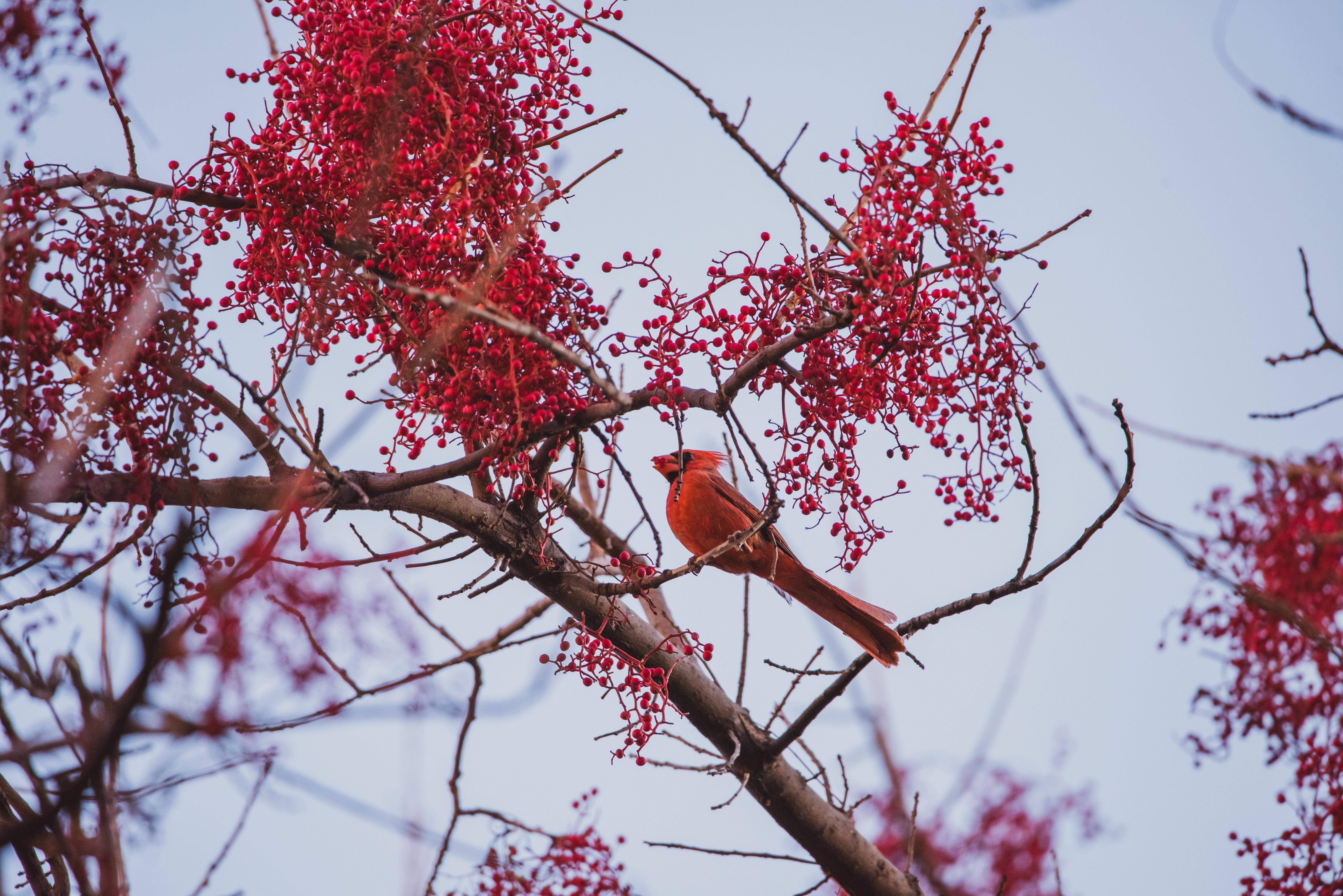 Northern Cardinal, Boyce Thompson Arboretum