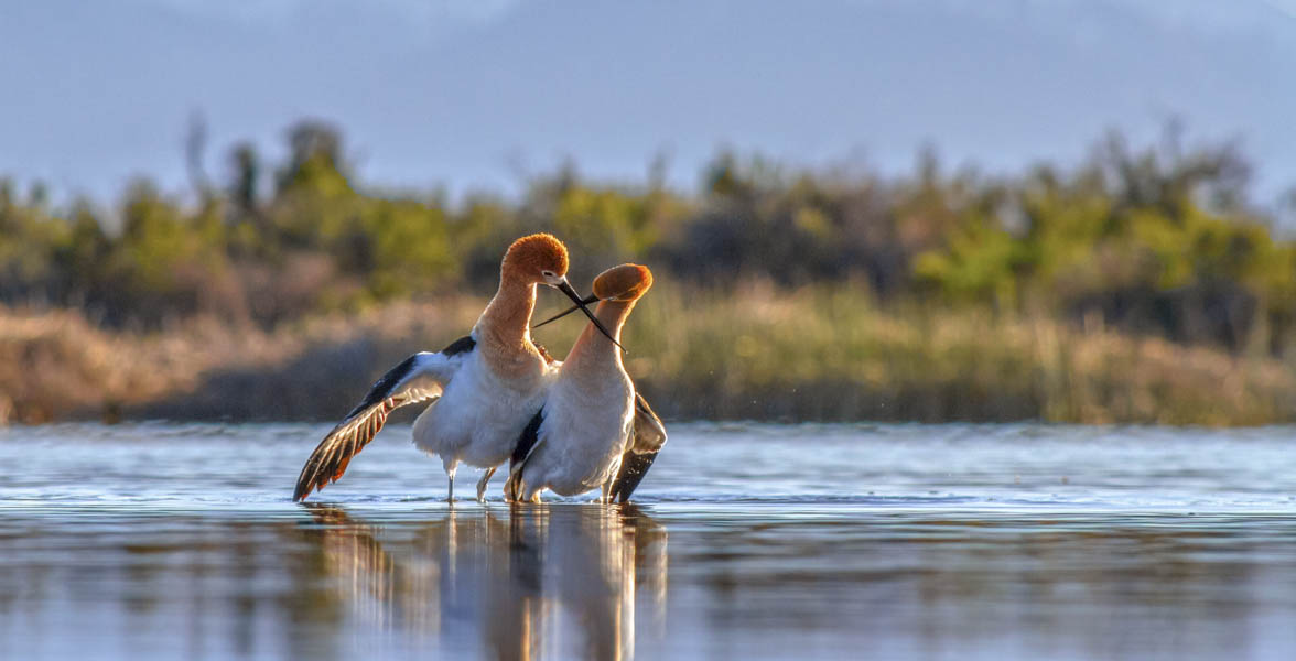 American Avocets performing courtship display. Photo: Arrow Myers