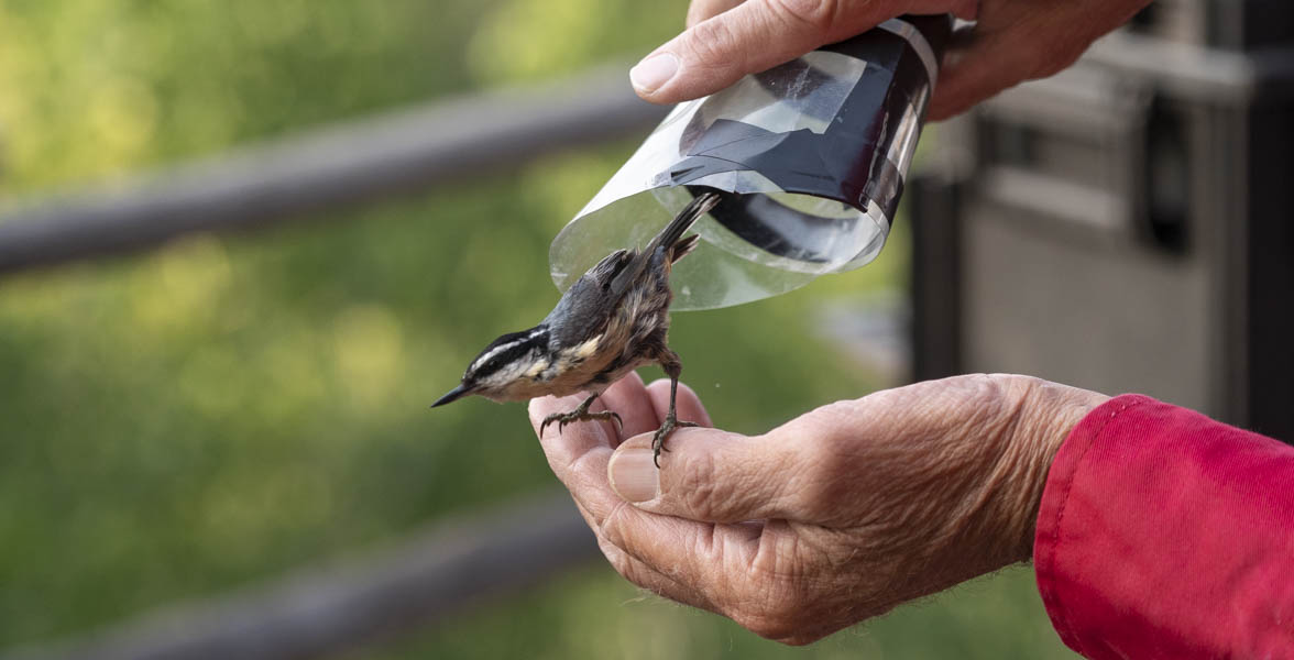 Red-breasted Nuthatch released from banding.