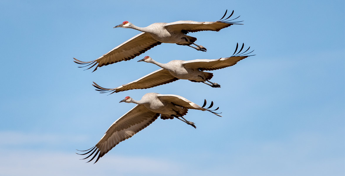 Three Sandhill Cranes in flight with wings outstretched on a blue sky background.