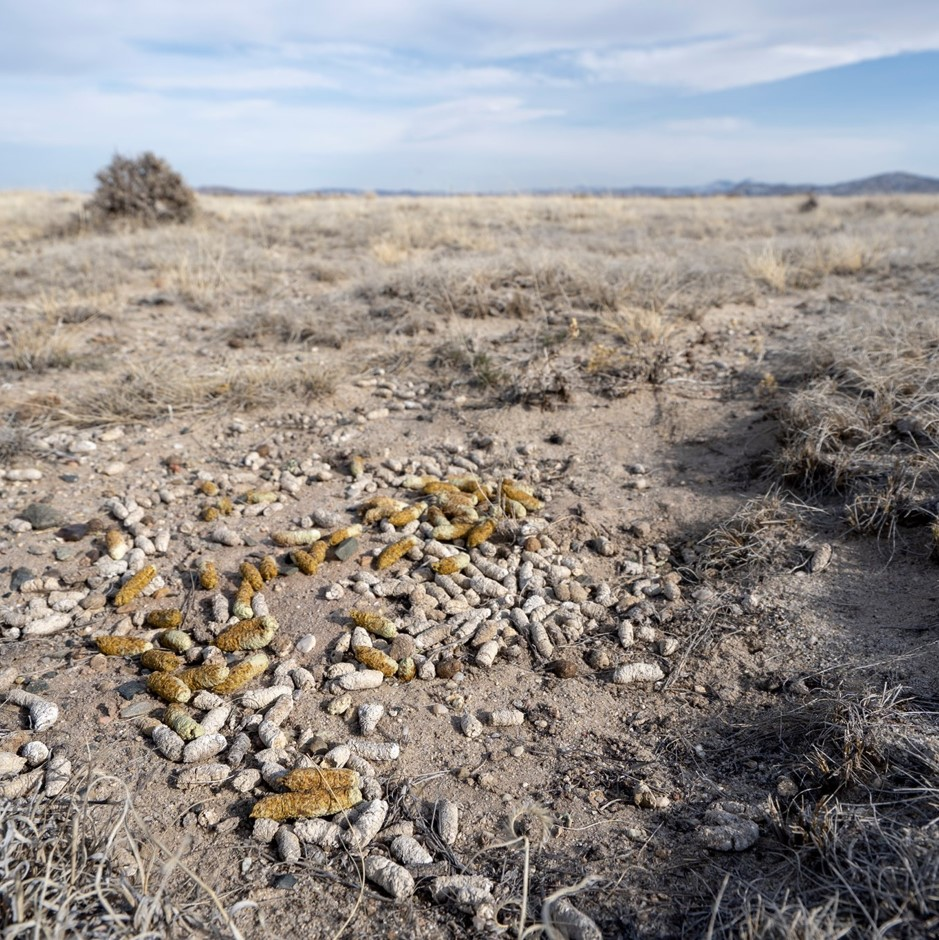 A landscape shot of a sparse sagebrush desert, a single short shrubby tree in the distance, and scat (poop) from a Greater Sage Grouse in the foreground.