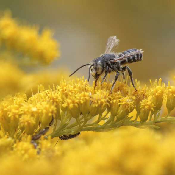 A leafcutter bee on goldenrod flowers.