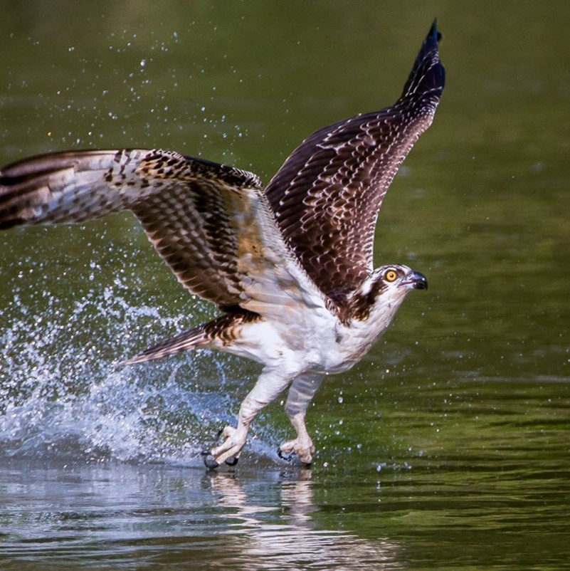 An Osprey takes off after hitting the surface of a body of water, droplets spraying in its wake.