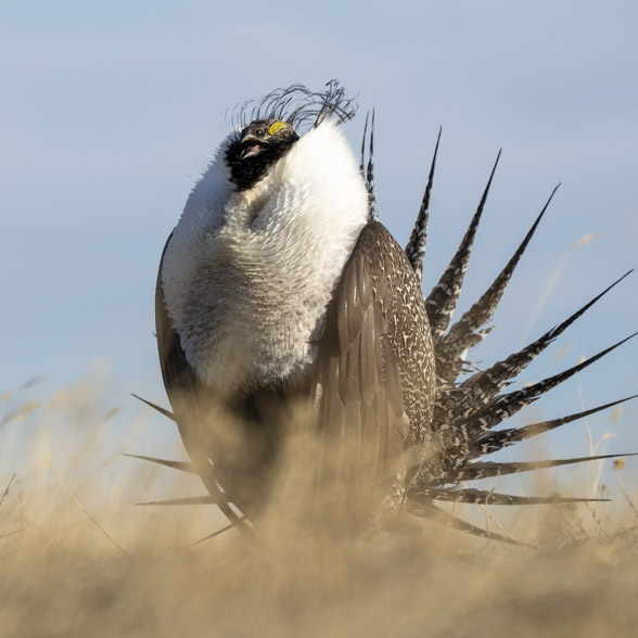 A Greater Sage-Grouse performs a courtship display.