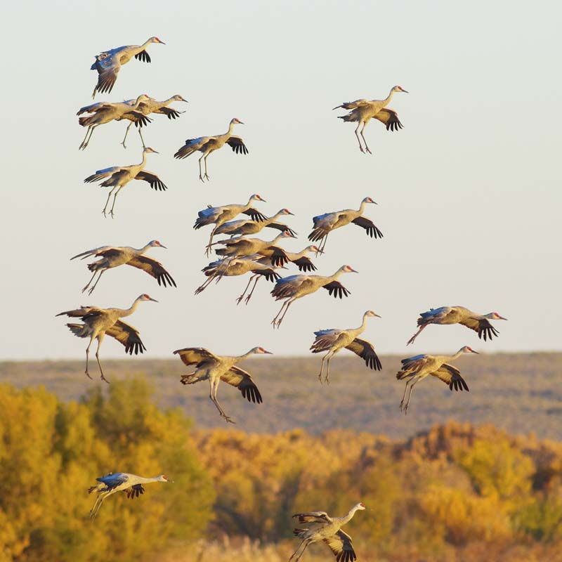 Sandhill Cranes. Photo: Tara Tanaka/Audubon Photography Awards