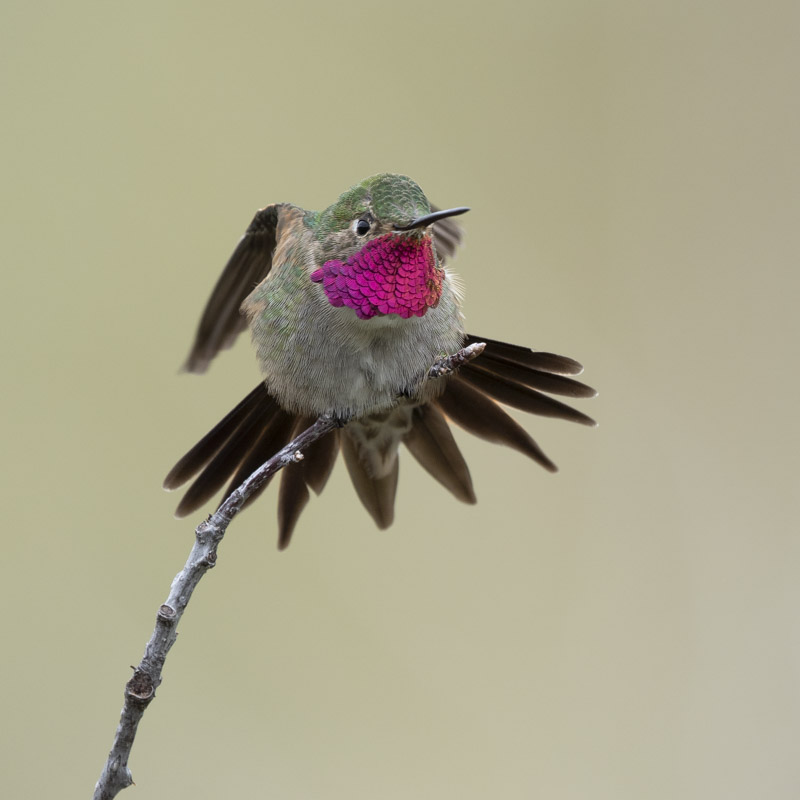 A male Broad-tailed Hummingbird stretches on a branch.