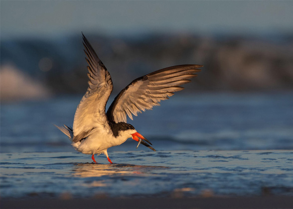 A Black Skimmer in shallow water with a small fish in its beak