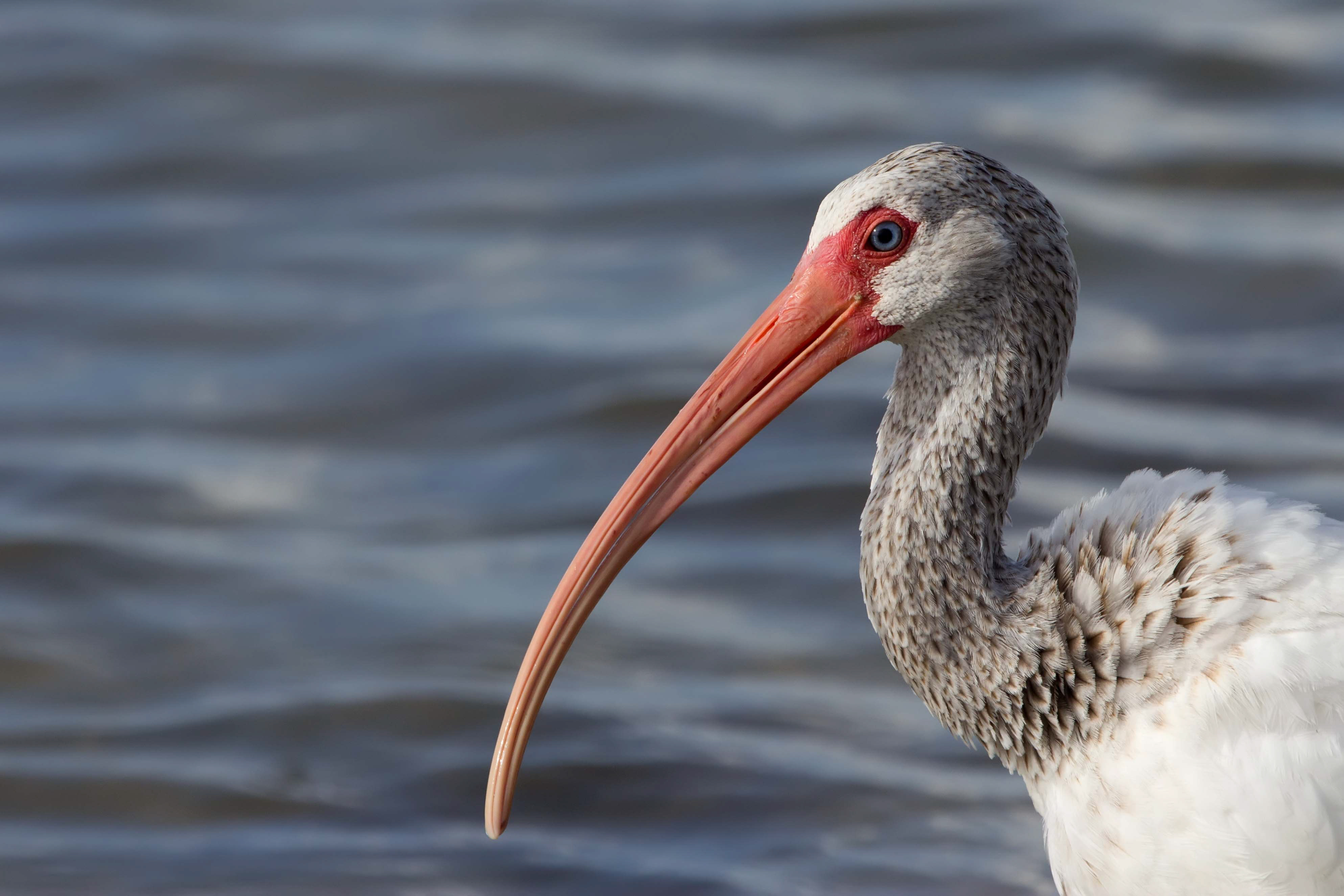 White Ibis. Photo: Jean Hall/Audubon Photography Awards.