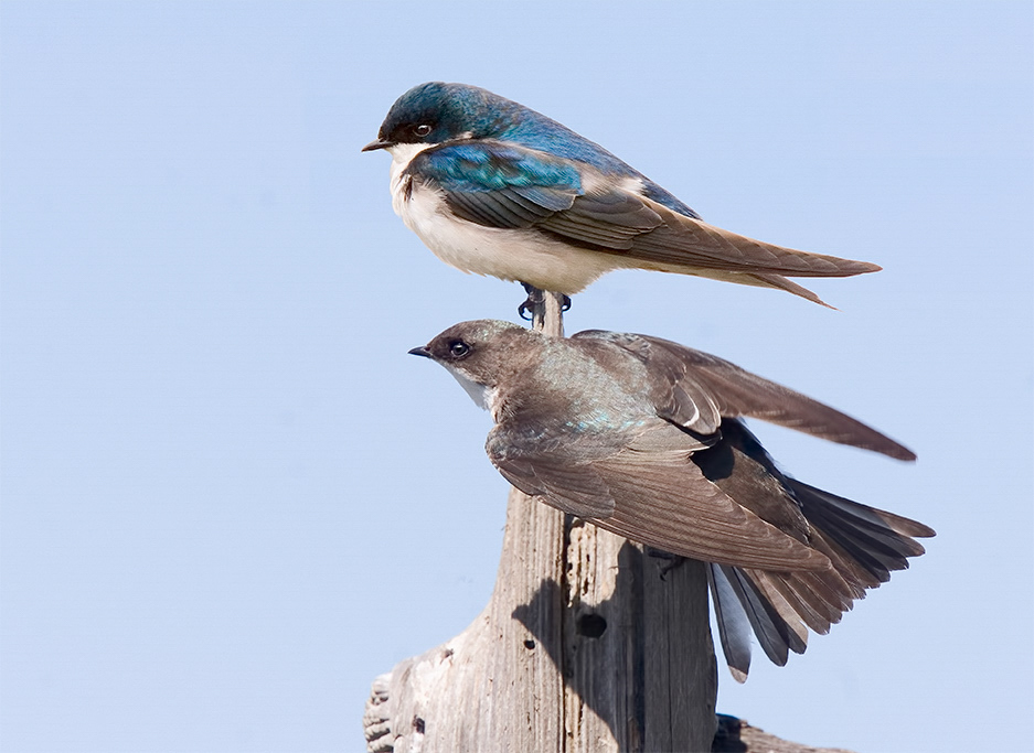 Tree Swallows. Photo: Marlin Greene/APA.