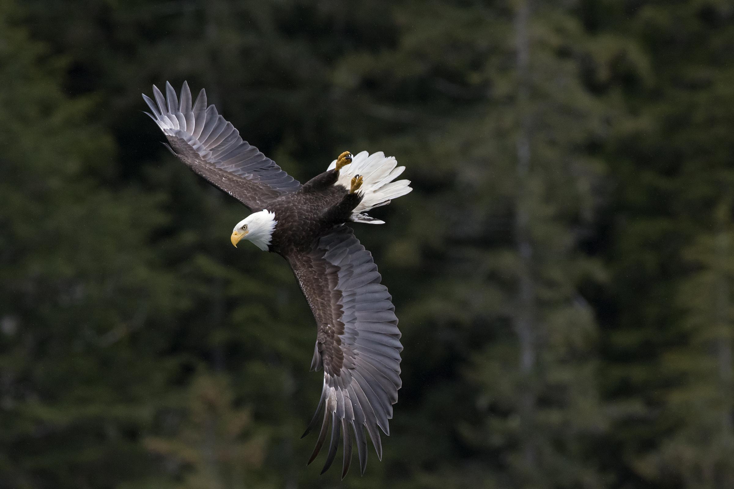 Bald Eagle. Photo: Howard Arndt/Audubon Photography Awards