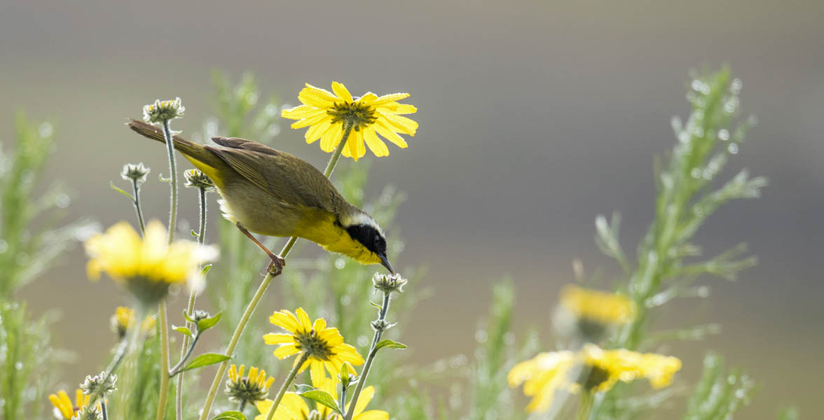 A Common Yellowthroat perches on yellow flowers.