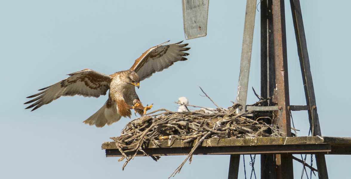 A Ferruginous Hawk lands on its nest with a chick in it.