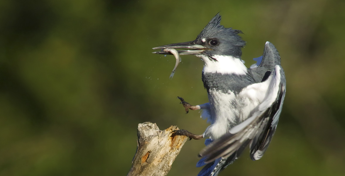 A Belted Kingfisher lands on a branch with a fish in his mouth.