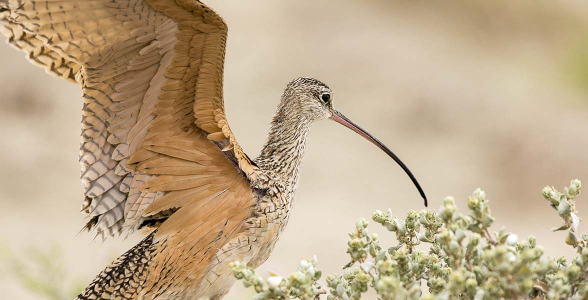 Long-billed Curlew spreads its wings.
