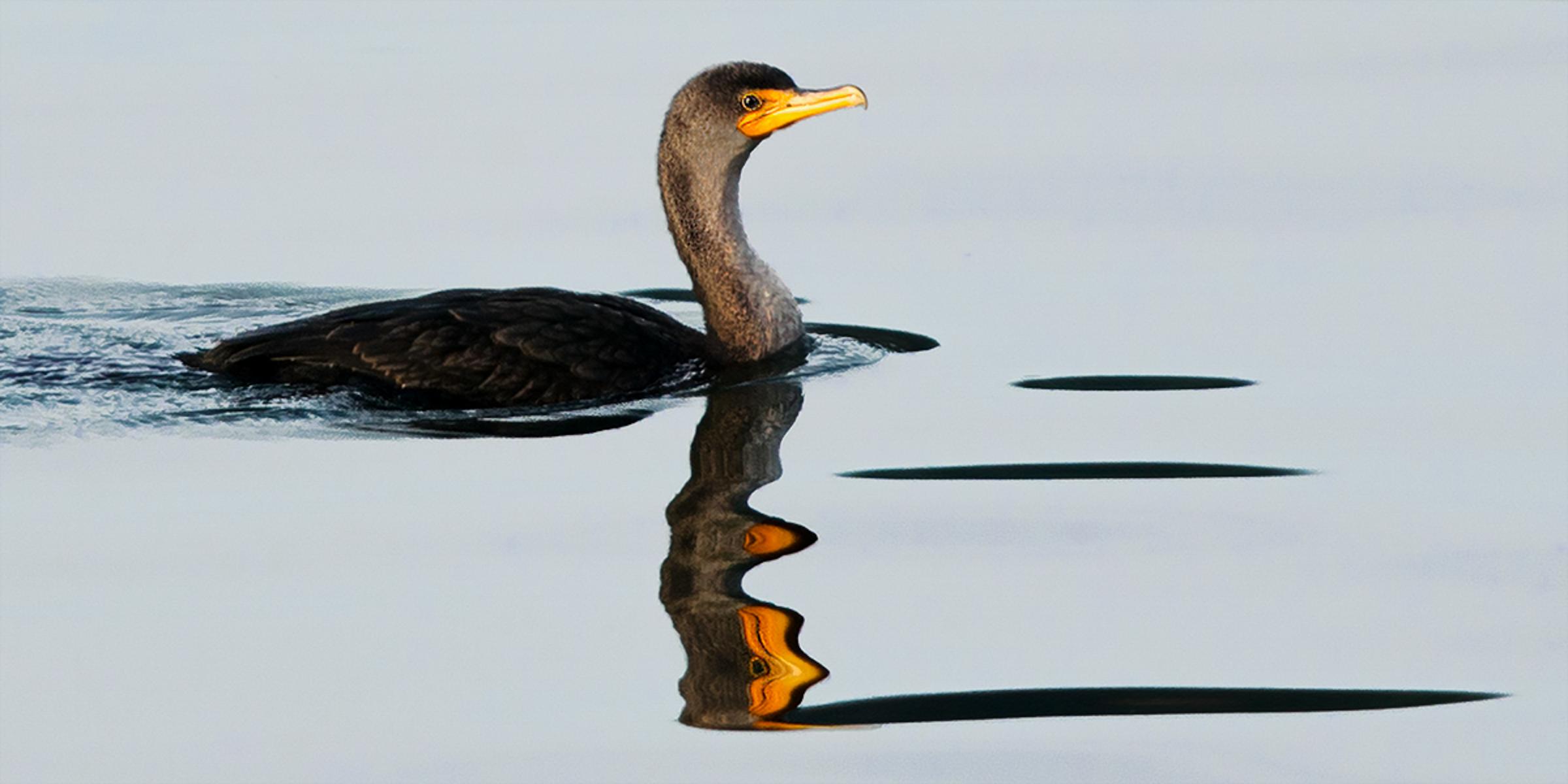 Double-crested Cormorant. Photo: Roger VanGelder/Audubon Photography Awards.