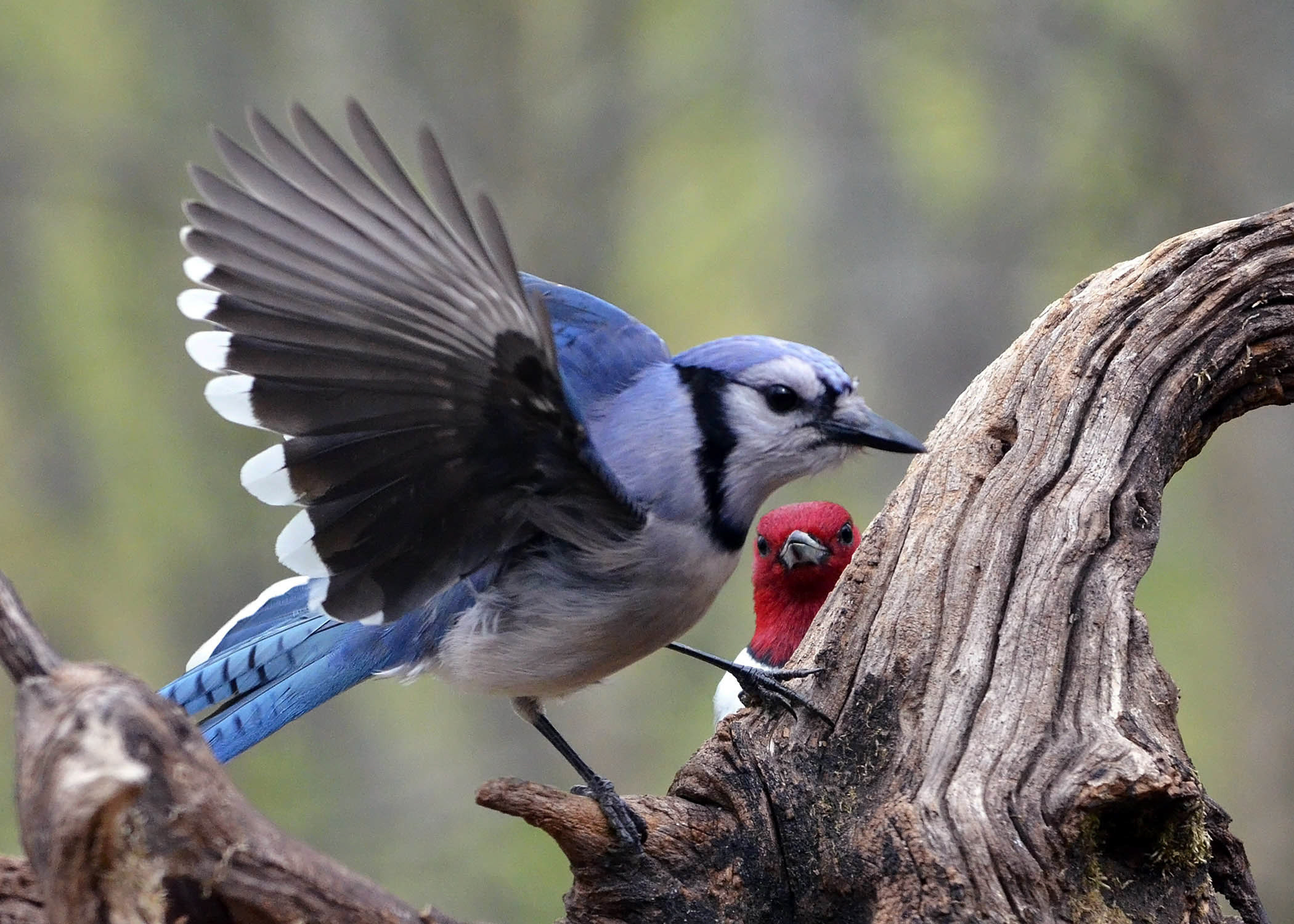 Red-headed Woodpecker and Blue Jay
