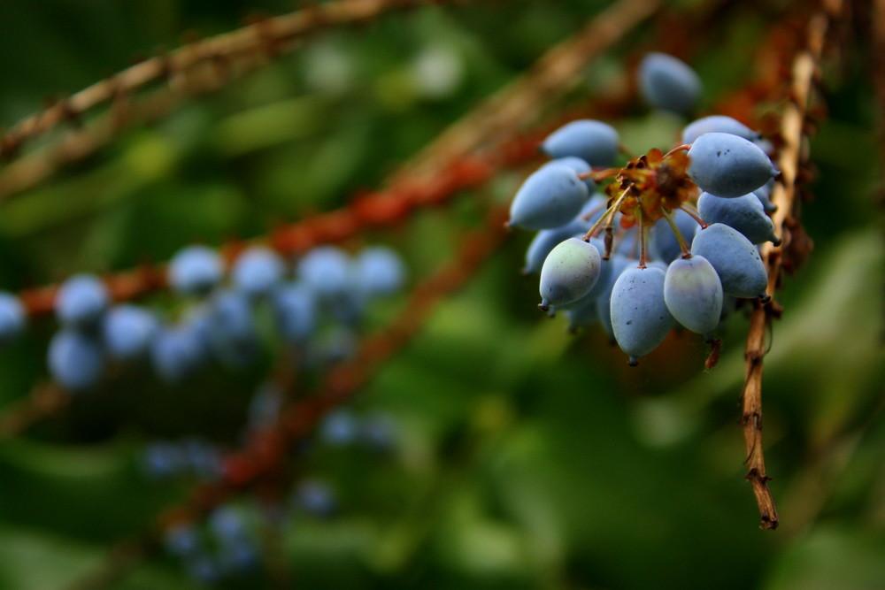 Oregon Grape photo by Leslie Seaton
