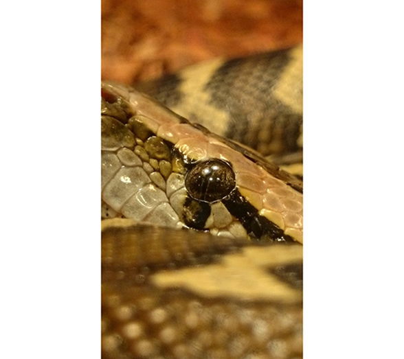 Burmese python. Photo: Pixabay.