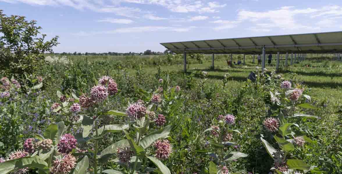 Milkweed bloom in front of solar panels.
