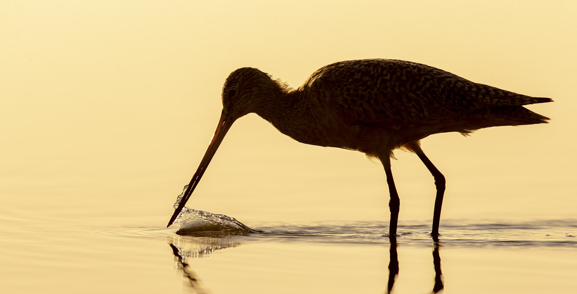A Marbled Godwit forages in water.