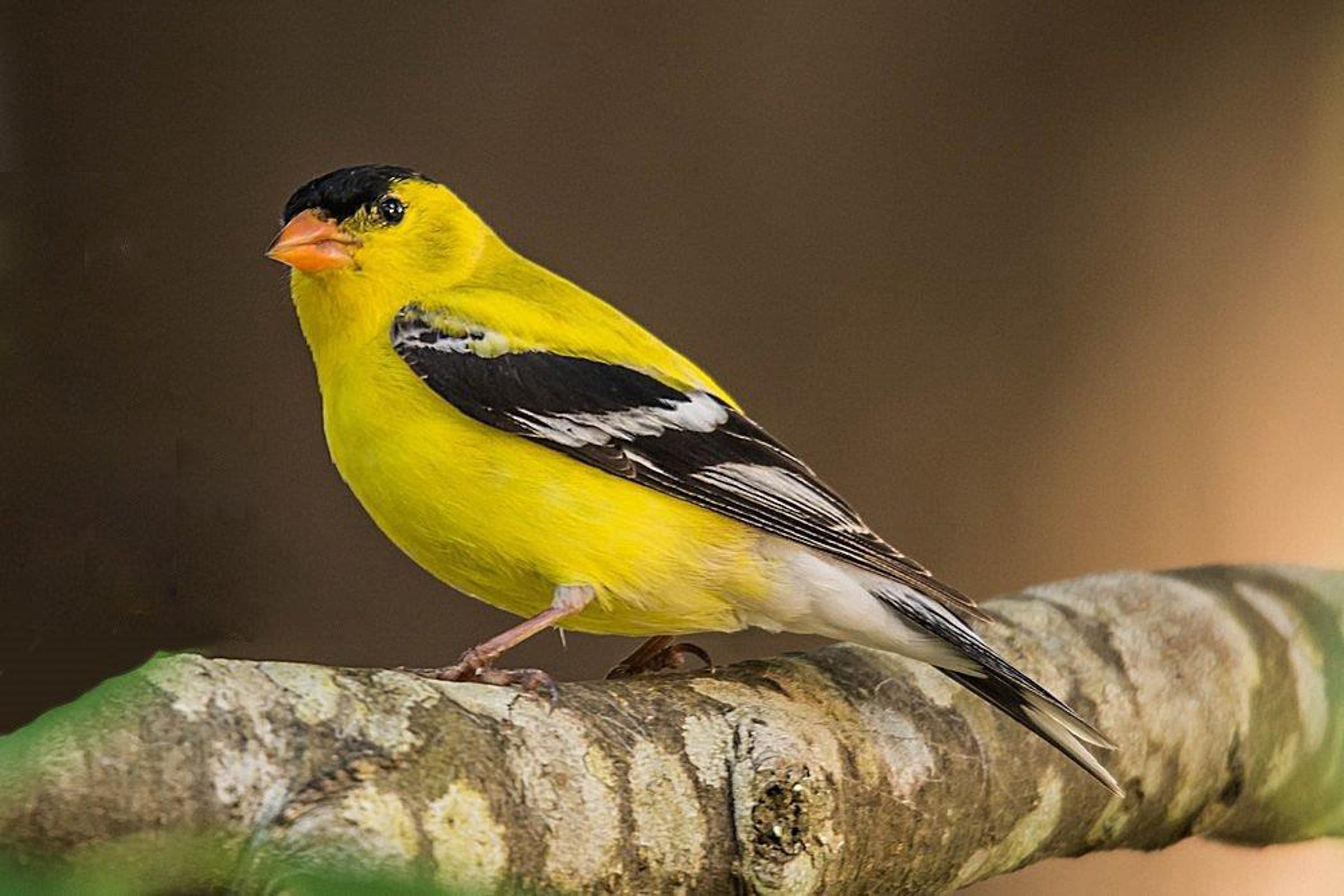 American Goldfinch. Photo: John Morrison.