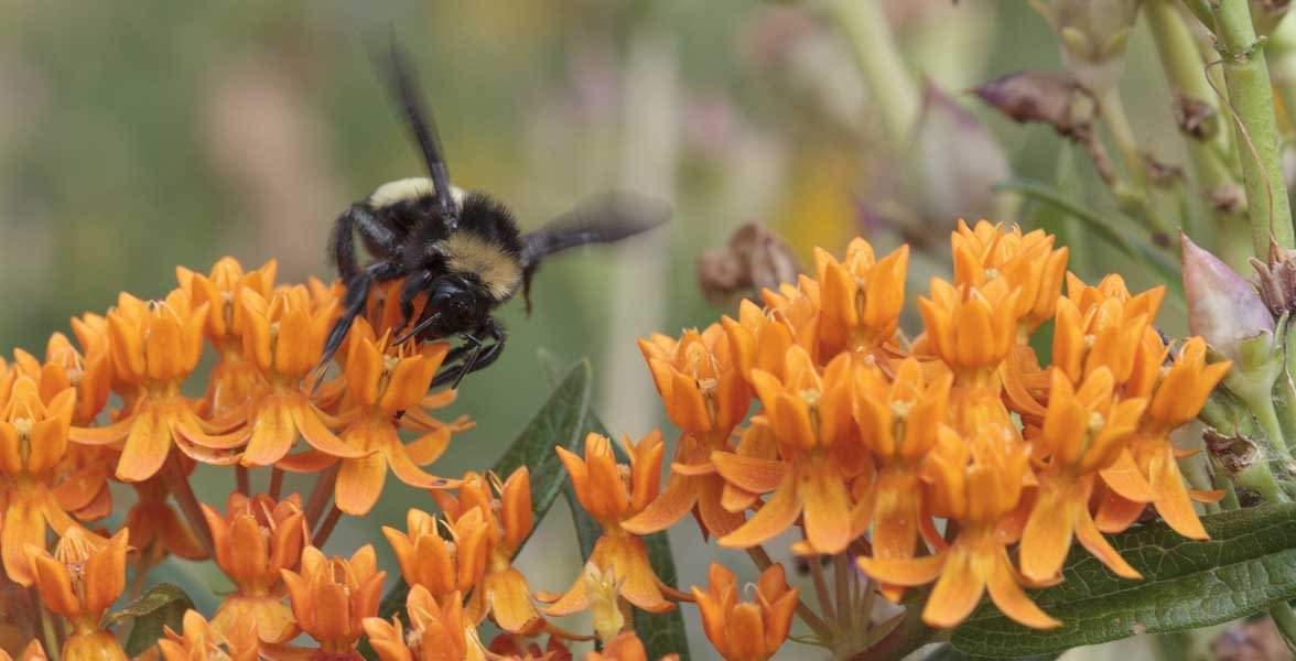 A bumble bee on butterfly milkweed.
