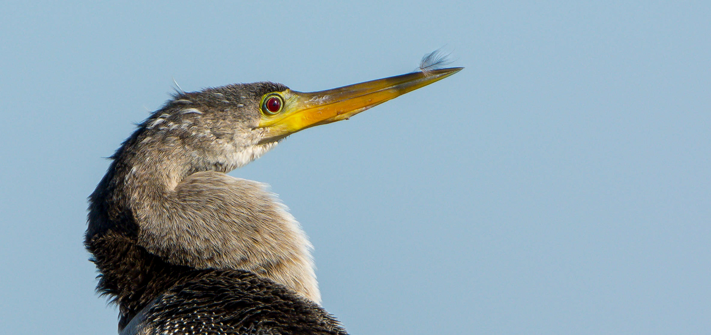 Anhinga. Photo: Georgia Wilson / Great Backyard Bird Count.